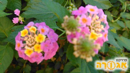 שתילי לנטנה עם פרחים ורודים