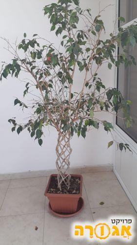 צמח פיקוס